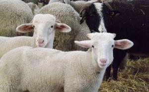 Travail de la laine Pays Toy